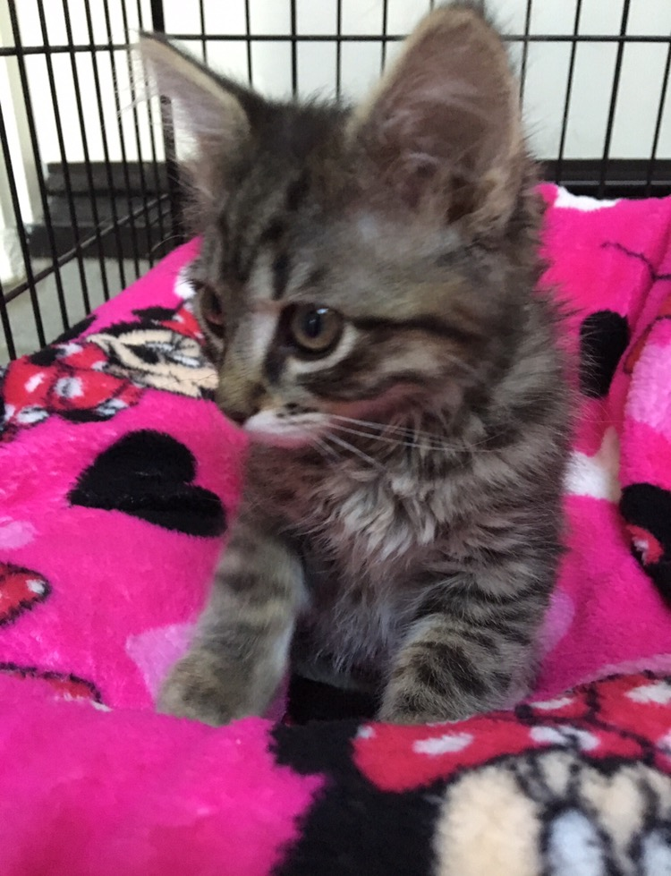 adopt-two-cats-lilly-belle